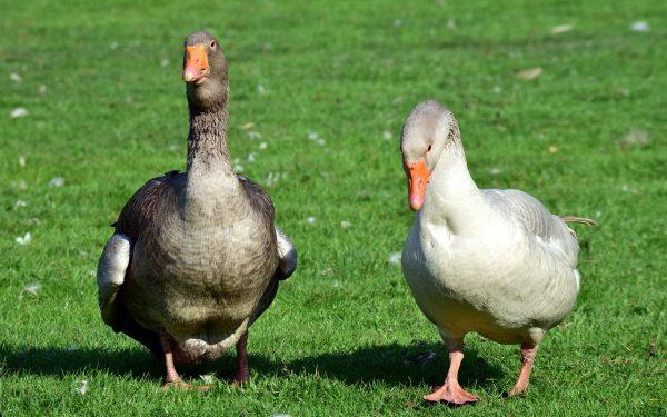 ferme elevage canard